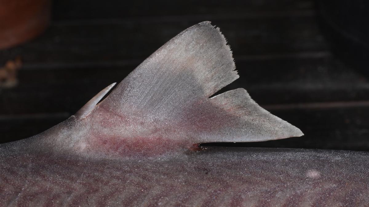 Shark Fact Friday – A Dogfish Named Spot | Oceana USA