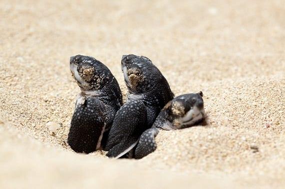 leatherback sea turtle hatching
