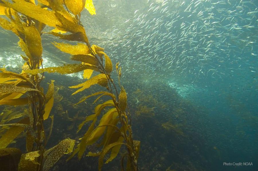 Sardines and kelp