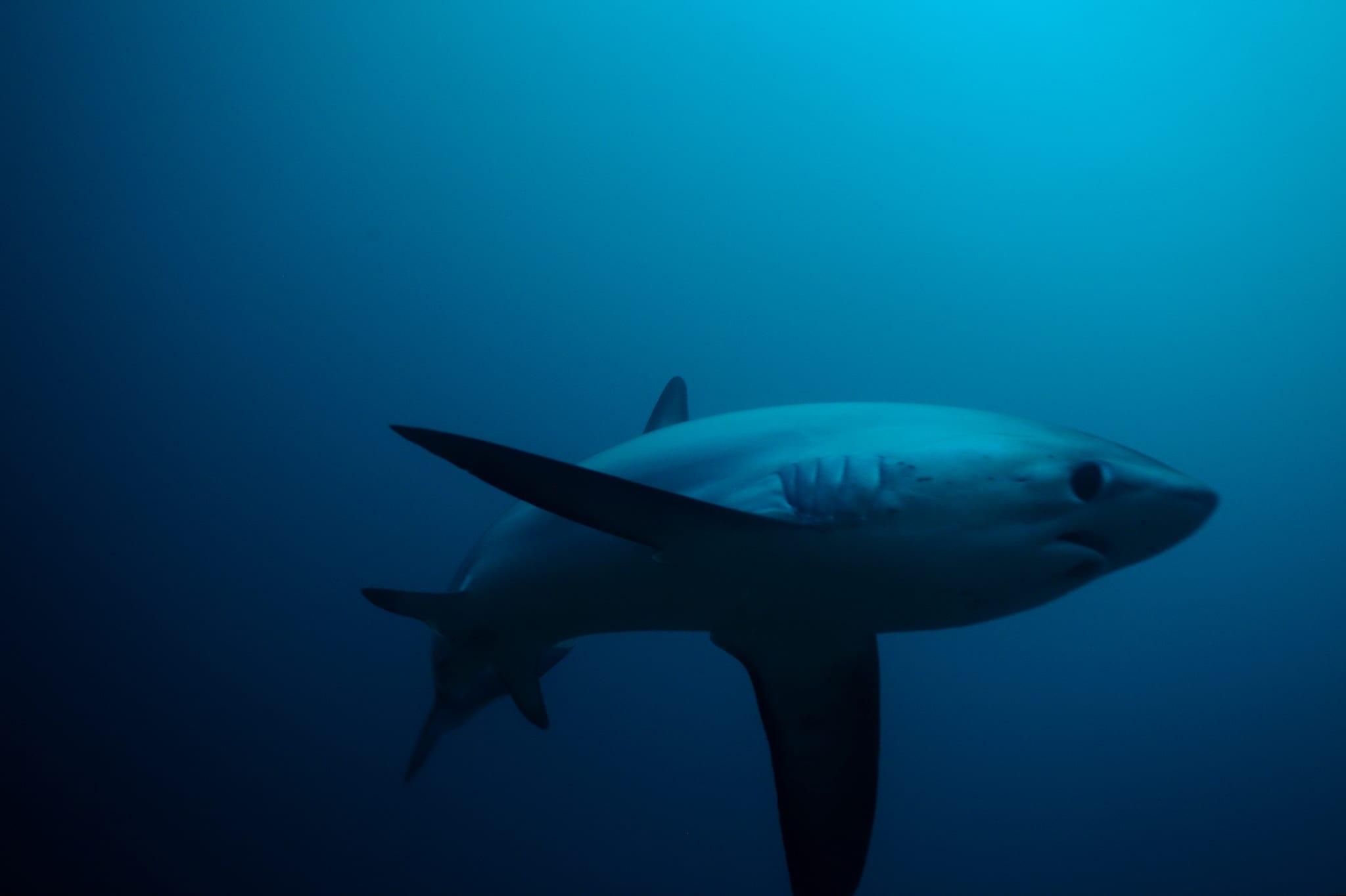 Thresher shark face