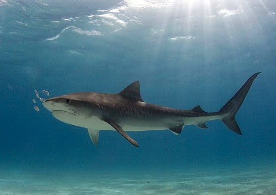 Photos: Meet the Biggest Shark Species Swimming in the ...  Photos: Meet th...